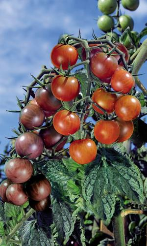 Plant de tomate-cerise doublement greffé de Vilmorin portant deux variétés différentes sur un même pied. DR