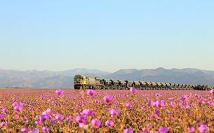 Au Chili, le désert le plus aride au monde transformé en champ de fleurs