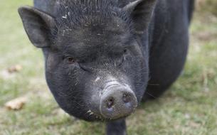 La ferme connectée aux 500.000 porcs de M. Ding, empereur du Web chinois