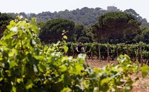 Planter des vignes et des oliviers pour lutter contre les feux de forêt