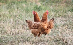 Ces villes qui donnent des poules pour réduire les déchets
