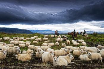 Chaque année, avant l'arrivée de l'hiver, les fermiers partent dans les Highlands chercher leurs moutons.