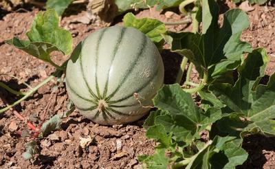 Les plants de melons greffés augmentent les chances de récolter des fruits mûrs en région froide.