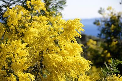 Originaire d'Australie, le mimosa continue à fleurir à l'époque de l'été austral. Crédit photo: Office de tourisme de Bormes-les-Mimosas.