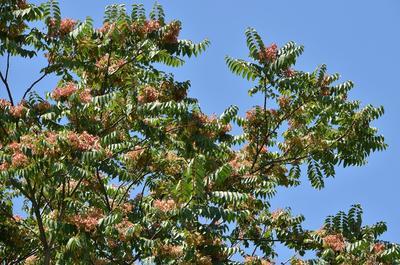 Ailante glanduleux: d'abord cultivé dans les parcs et jardins, cet arbre originaire de Chine prolifère dans les écosystèmes dégradés.