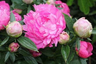 Belle floraison de pivoines;