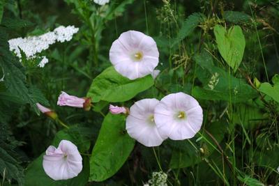 Avant la plantation, le sol doit être débarrassé des mauvaises herbes invasives comme le liseron.