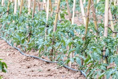 Tomates irriguées au goutte-à-goutte après un traitement à la bouille bordelaise