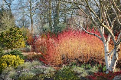Splendide buisson de <i>Cornus sanguinea</i> &#8216;Midwinter fire'. Photo: Cédric Pollet