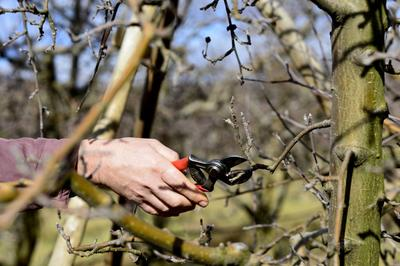 Taille fructifère d'un pommier à la fin de l'hiver.