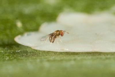 Trichogramme femelle en train de pondre sur des œufs de pyrale. Photo Biotop.