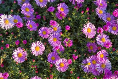 Splendide massif d'asters