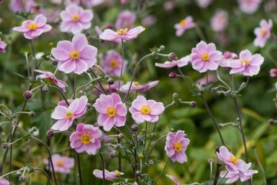 L'anémone du Japon commence à fleurir en cette saison.