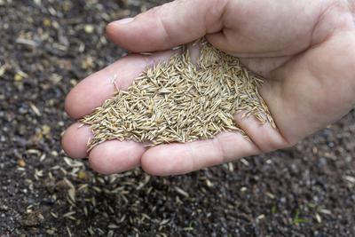 Semences de ray-grass anglais, l'herbe qui compose la plupart des gazons