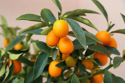 Fruits de Kumquat.