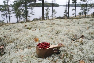 Collecte matinale d'airelles près du lac de Saimaa.