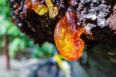La gommose est un mécanisme de défense contre un stress, comme une taille trop sévère. Elle touche principalement les cerisiers et la plupart des arbres fruitiers à noyau.