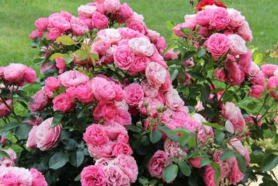 Variété de rosier à fleurs groupées.