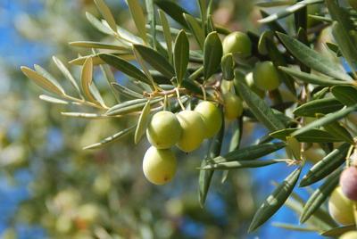 L'hiver, l'olivier est surtout sensible à l'excès d'eau.