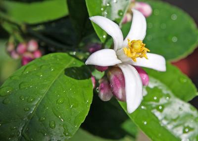 Belle floraison de citronnier.