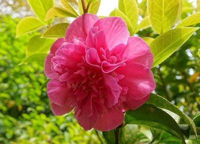 Camélia à fleur de pivoine de la variété Debbie. Photo: Daderot sous licence CC.
