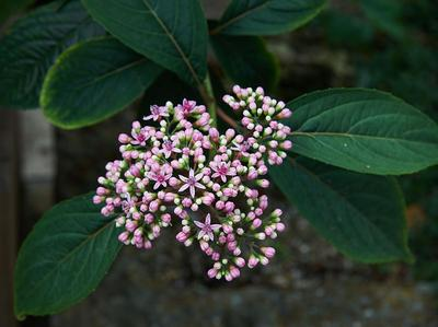 Fleurs de Dichroa febrifuga. Cet hortensia sécrète un puissant antipaludéen. Photo: Wouter Hagens/Wikimedia Commons.