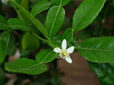 Fleur de citronnier. Crédit photo: SNHF.
