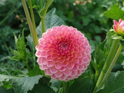 Dahlia «pompon» en fleurs. Crédits photo: Daniel Lejeune/SNHF.