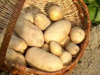 Environ 150 variétés de pommes de terre sont cultivées en France. Crédits photo: Dowen/SNHF.