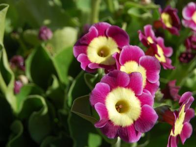 Oreille d'ours ( <i>P. auricula</i>), variété &#8216;Calypso'. Crédit photo: FarOutFlora/Flickr.