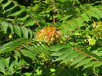 L'ailante glanduleux, très invasif, a tendance à coloniser les jardins suspendus. Crédit photo: NatureServe sous licence Creative Commons.