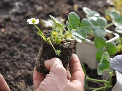 Les plants de fraisiers vendus en motte s'installent rapidement.
