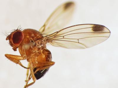 <i>Drosophila suzikii </i> ou drosophile asiatique. Crédit photo: Martin Cooper sous licence Creative commons.