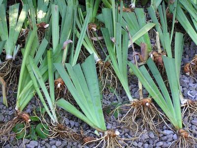 Éclats d'iris prêts à être replantés. Crédit photo: CCnormanack sous licence Creative commons.