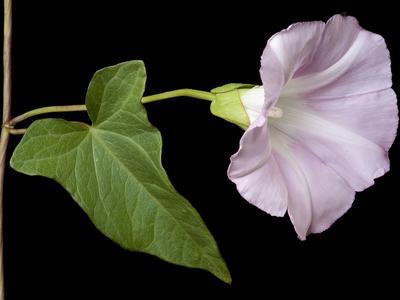 Fleur de liseron. Crédit photo: Kevin Thiele sous licence Creative commons.