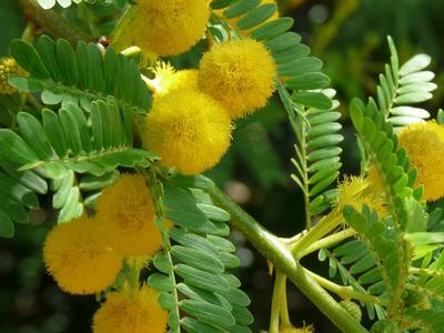 Le mimosa se prête à une large palette de solutions décoratives. Crédit photo: Domaine du Rayol.