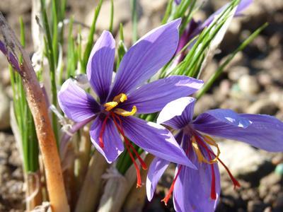 Le <i>Crocus sativus</i>et son précieux safran.