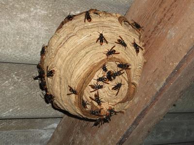 Détail d'un nid de frelon asiatique sous une toiture. Photo: