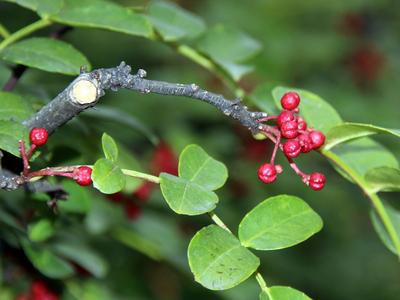 Les fruits et l'écorce de l'arbuste Zanthoxylum americanum renferment un anesthésiant qui soulage les douleurs dentaires.