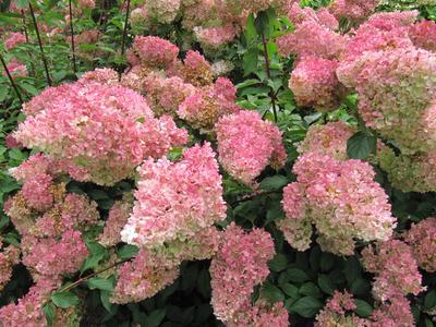 La taille de printemps stimule la floraison des hydrangéas paniculés.
