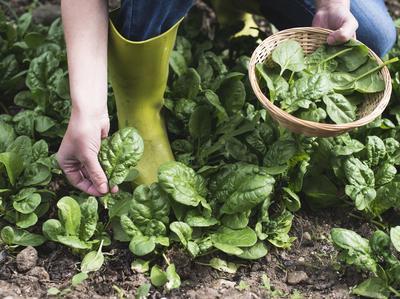 Récolte d'épinards feuille à feuille