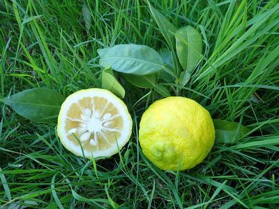 Le greffage permet d'avoir des fruits plus tôt et plus faciles à cueillir.