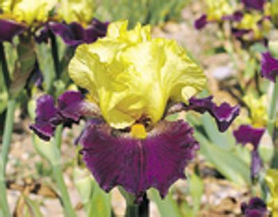 L'iris bicolore 'Je vole' créé par Richard Cayeux.