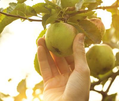 La maturité d'une pomme s'évalue en soulevant légèrement le fruit et en le faisant tourner d'un quart de tour. Même chose avec les poires.
