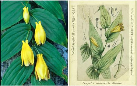 Le Tricyrtis macrantha Maxim., une liliacée dont le nom japonais signifie «dame élégante». À droite l'illustration peinte par Makino. Photo: Kochi Prefectural Makino Botanical Garden.