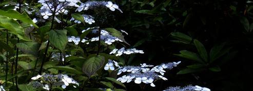 Hydrangea serrata, en parterre de sous-bois
