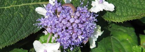 Hydrangea involucrata, amateur d'ombre et de fraîcheur
