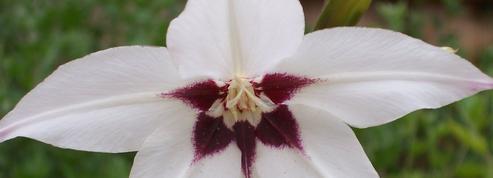 Glaïeul d'Abyssinie, des fleurs très odorantes