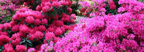 Rhododendron, le «grand frère» de l'azalée