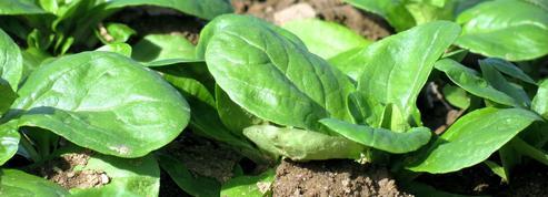Mâche, de délicieuses salades pour l'automne